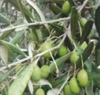 Rischi in olivicoltura