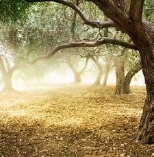 Coltura dell'olivo