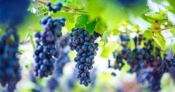 sicurezza-alimentare-vendemmia-vino
